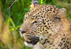 Leopard, der im Gras sitzt Stockfoto