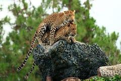 Leopard, der Intimität tut Stockbilder