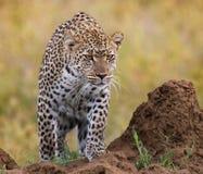 Leopard in der Savanne Chiang Mai kenia tanzania Maasai Mara serengeti lizenzfreies stockfoto