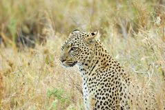 Leopard in der Savanne, Nationalpark Serengeti, Tansania stockbild