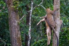 Leopard, der sein Opfer trägt Stockfoto