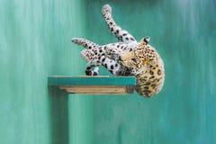 Leopard, der vom Regal fällt Stockfoto