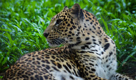Leopard, der zurück schaut Lizenzfreies Stockfoto