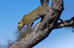 Leopard descending a tree. A leopard in the Kruger National Park. South Africa royalty free stock photos
