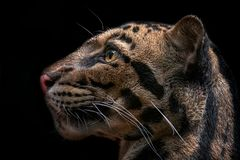 Leopard. Detail of clouded leopard on balck background Stock Photo