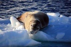 Leopard-Dichtung auf einem Eisberg, Antarktik Lizenzfreie Stockfotos