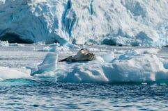 Leopard-Dichtung, die auf Eisscholle die Antarktis stillsteht Lizenzfreie Stockfotos