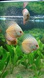Leopard discus fish Royalty Free Stock Photos
