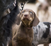 Leopard Dog Puppy. Catahoula without Patches, just Brown Puppy Royalty Free Stock Images