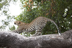 Leopard doing his stretching on a branch stock photo