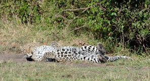 Leopard Doing the Roll Stock Photography
