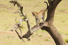 Leopard down the tree to the ground Royalty Free Stock Photography
