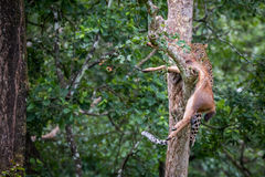 Leopard draging its kill on a tree Stock Photography