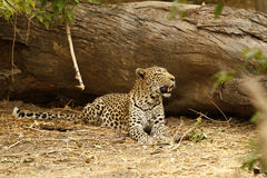 Shady Leopard  Stock Photo