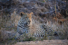 Leopard. Drinking in Kruger Park Stock Photo