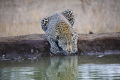 Leopard. Drinking in Kruger Park Royalty Free Stock Images