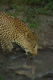 Leopard drinking Stock Image