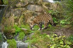 Leopard drinking water Royalty Free Stock Photos