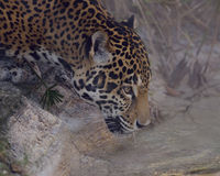 Leopard Drinking Water Royalty Free Stock Image