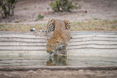 Leopard drinking water at a waterhole. Stock Image