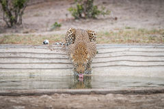 Leopard drinking water at a waterhole. Royalty Free Stock Images