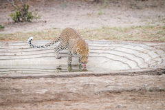 Leopard drinking water at a waterhole. Royalty Free Stock Photo