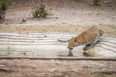 Leopard drinking at a waterhole Royalty Free Stock Images