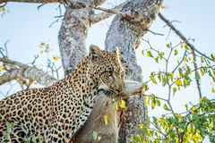 Leopard with a Duiker kill. Leopard with a Duiker kill in the Kruger National Park, South Africa Stock Photos