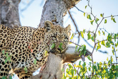 Leopard with a Duiker kill. Royalty Free Stock Image