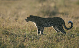 Leopard at dusk royalty free stock photography