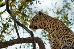 A leopard eating an antelope on a tree, Kruger National Park, South Africa Stock Photo