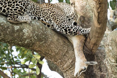 Leopard eating gazelle on a tree Royalty Free Stock Image