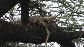 Leopard eating pray stock video