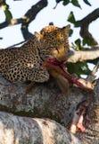 Leopard is eating prey on the tree. National Park. Kenya. Tanzania. Maasai Mara. Serengeti. Stock Image