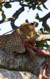 Leopard is eating prey on the tree. National Park. Kenya. Tanzania. Maasai Mara. Serengeti. Royalty Free Stock Images
