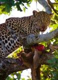 Leopard is eating prey on the tree. National Park. Kenya. Tanzania. Maasai Mara. Serengeti. Stock Photo