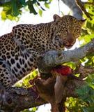 Leopard is eating prey on the tree. National Park. Kenya. Tanzania. Maasai Mara. Serengeti. Royalty Free Stock Photography