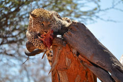 A leopard eating raw meat in a tree Royalty Free Stock Photography