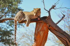 A leopard eating raw meat in a tree Stock Photo