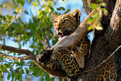 Leopard eating on a tree. A leopard eating quietly the hed and neck of an antelope on a tree. Kruger Nationa Park. South Africa stock photography
