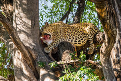 Leopard eats antelope carcass in tree Royalty Free Stock Image