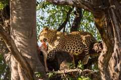 Leopard eats its prey in tree Stock Photos