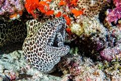 Leopard eel mooray portrait Royalty Free Stock Photography