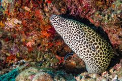 Leopard eel mooray portrait. While hiding on its reef nest Stock Images