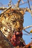 Leopard in einem Baum mit Abbruch Stockbild