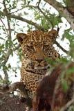 Leopard in einem Baum mit Abbruch Lizenzfreies Stockfoto