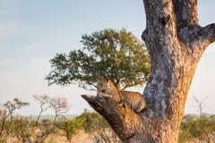 Leopard in einem Baum tagsüber stockfotos
