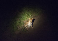 Leopard in einem Scheinwerfer während auf dem Prowl nachts Lizenzfreie Stockbilder