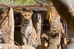 Leopard in einem ZOO-Käfig, der leblos schaut stockfotografie