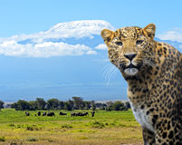 Leopard. Elephants family on African savanna. Safari in Amboseli Stock Photography
